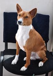 Басенджи – нелающая собака из Конго